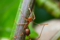 Closed up red ant on tree Royalty Free Stock Photo