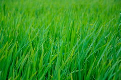 Closed up Rice field green grass landscape Royalty Free Stock Image