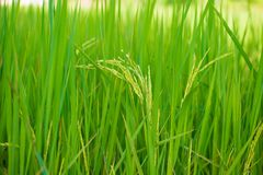 Closed up rice produce grains in farm. Show agriculture background Royalty Free Stock Photography