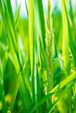 Closed up rice produce grains in farm. Show nature concept Royalty Free Stock Photo
