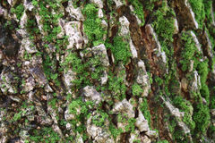 Closed up Rough Texture of Big Tree Trunk with Green Moss Royalty Free Stock Images