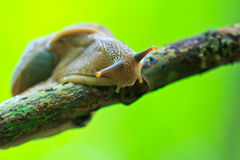 Closed up of snail Royalty Free Stock Photo