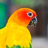 Closed up of Sun Parakeet Royalty Free Stock Image