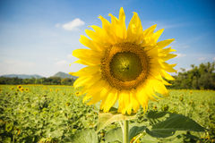 Closed up of Sunflowe with blue sky Royalty Free Stock Photos