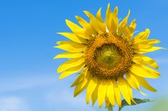 Closed up of sunflower on blue sky. Background Royalty Free Stock Image