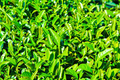 Closed up of tea leaves Stock Photo