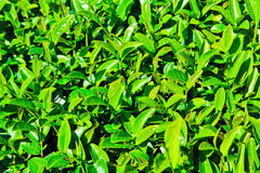 Closed up of tea leaves Royalty Free Stock Photography