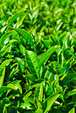 Closed up of tea leaves Stock Images
