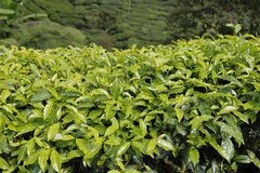 Closed-up Tea Leaves in Tea Plantation in Cameron Highlands , Malaysia Royalty Free Stock Photography