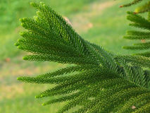 Closed up Texture of Cook Pine Tree`s Green Leaves Stock Photos