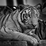 Closed up of tiger in black and white tone Royalty Free Stock Photography