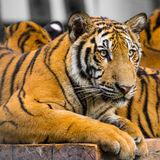 Closed up of tiger sitting on the table. Stock Images
