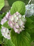 Closed up to image Hydrangea have pink petals ,green leaves  ,in the garden. stock photos