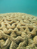 Closed up to polyp coral. Closed up to polyp of massive coral in the deep blue sea Royalty Free Stock Photo