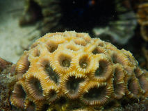 Closed up to polyp massive coral, Favia Stock Photography