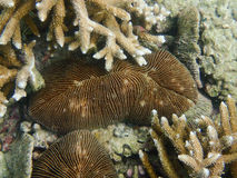 Closed up to polyp mushroom coral, Fungia. In the tropical ocean Stock Image