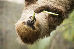 Closed up two-toed sloth eating lentils Royalty Free Stock Photo