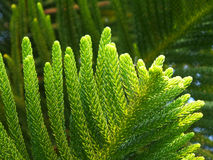 Closed up Vibrant Green Leaves of Cook Pine Tree in the Afternoon Sunlight Royalty Free Stock Photography