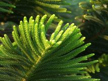 Closed up Vibrant Green Leaves of Cook Pine Tree in the Afternoon Sunlight. With Selective Focus Royalty Free Stock Images