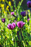 Closed up violet opium flowers. Stock Images