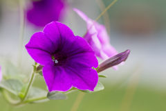 Closed up violet wild petunias Royalty Free Stock Photo