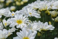 Closed up of White Chrysanthemum Flower royalty free stock image