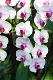 Closed up White orchid flower Royalty Free Stock Images