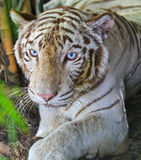 Closed up white tiger Royalty Free Stock Images