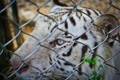 Closed up white tiger in the cage Royalty Free Stock Image
