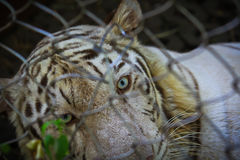Closed up white tiger in the cage Royalty Free Stock Photos