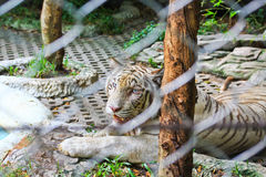 Closed up white tiger in the cage Royalty Free Stock Photo