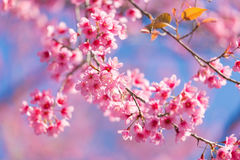 Closed-up Wild Himalayan Cherry blossom. Stock Image