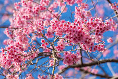 Closed-up Wild Himalayan Cherry blossom. Royalty Free Stock Photos
