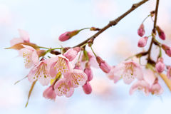 Closed up Wild Himalayan Cherry in Thailand Stock Photo