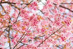 Closed up Wild Himalayan Cherry in Thailand Stock Photos