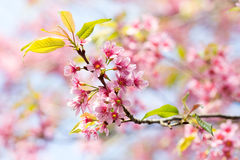 Closed up Wild Himalayan Cherry in Thailand Royalty Free Stock Photos