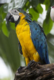 Closed Up yellow and blue Macaw Stock Photography
