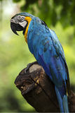 Closed Up yellow and blue Macaw Stock Image