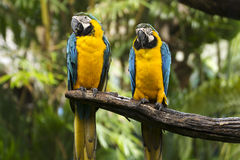 Closed Up yellow and blue Macaw Royalty Free Stock Images