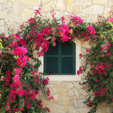 Closed window and bougainvillea. Closed window with window shutters surrounded by bougainvillea Royalty Free Stock Images
