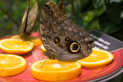 Butterfly Blue Morpho Closed Wing royalty free stock photo