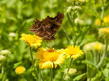 Closed Wing Comma Butterfly & x28;Polygonia c-album& x29; Close Up Royalty Free Stock Image