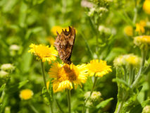 Closed Wing Comma Butterfly & x28;Polygonia c-album& x29; Close Up Front Stock Photo