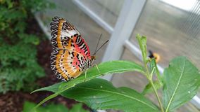 Closed wings orange & x22;tiger& x22; butterfly Stock Images