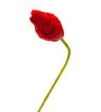 Closed wrinkly poppy bud Royalty Free Stock Photos