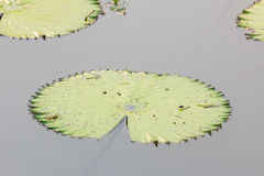 Closedup green lotus leaves on water Stock Images