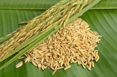 Closedup rice on green leaf background. Rice on green leaf background Royalty Free Stock Image