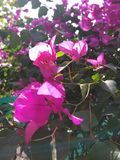 Closer click of pink flower. It is a closer click of pink flower hanging on a plant stock images