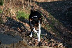 Closer front view of a tri color basenji on a forest ground in meppen emsland germany stock photos