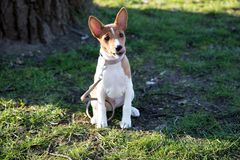 Closer front view of a two tone basenji puppy sitting on a grass area looking in the camera in meppen emsland germany royalty free stock images